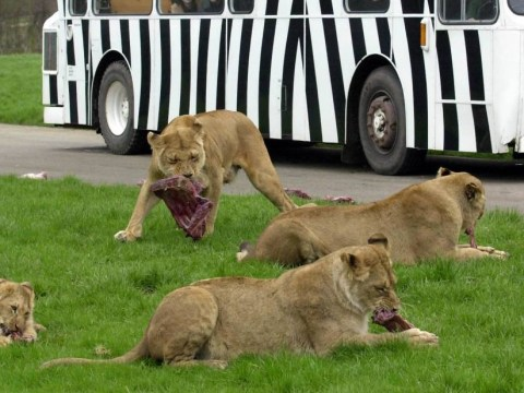 Six lions destroyed at Longleat Safari Park