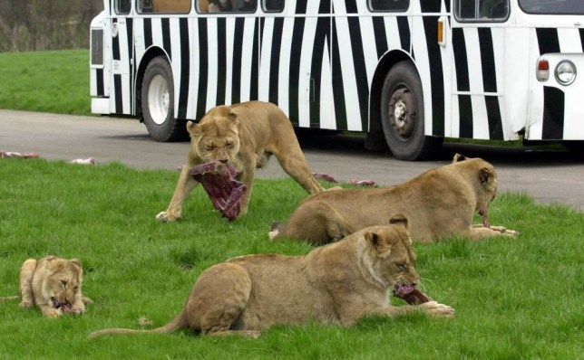 Six lions destroyed at Longleat Safari Park