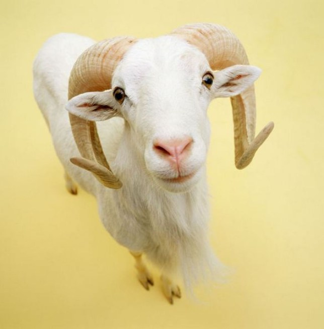 Malam Baranda: Nigeria man asked goat's permission for sex