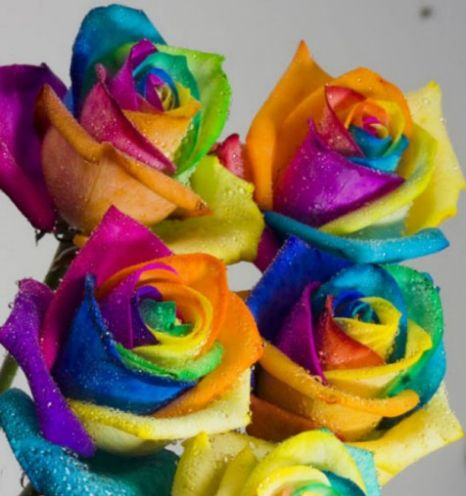 multi-coloured rainbow roses