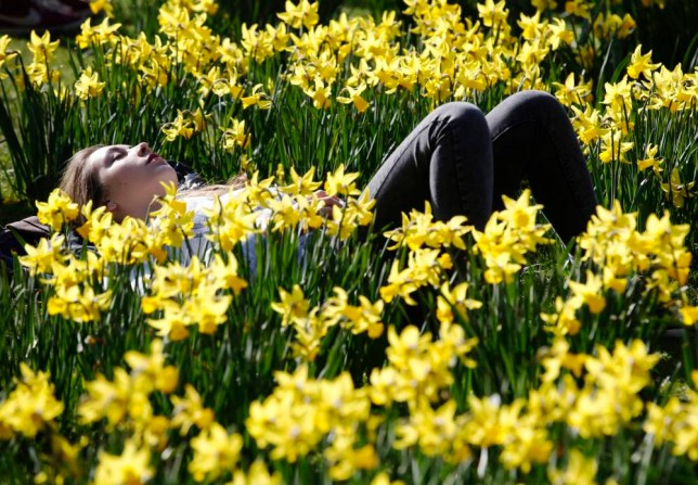 A woman rests among spring daffodils in the sun as the weather warms in London . (Picture: Reuters)