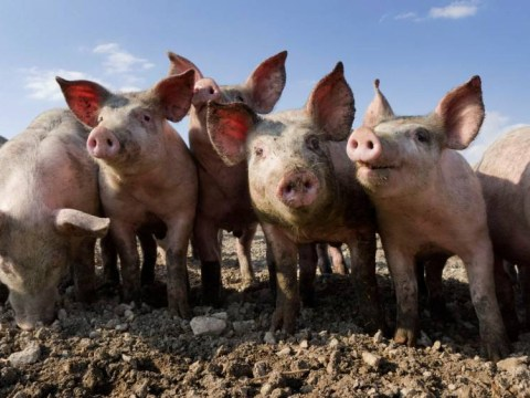 Farmers face fight to save our bacon… pork could be off the menu over deadly pig virus threat