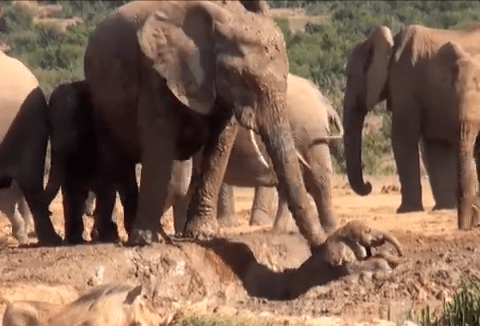 A baby elephant gets stranded in deep mud. Watch its mother's rescue attempt unfold…