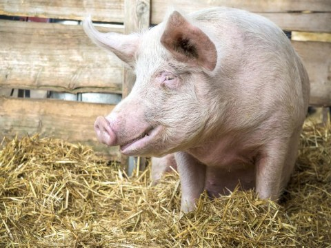 Hog roast: Up to 5,000 pigs killed in fire on Swedish farm