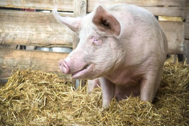 Pig on a farm (Picture: Alex Raths)