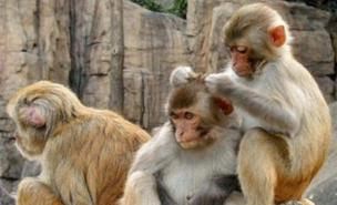 The macaques have benefitted from the new technology