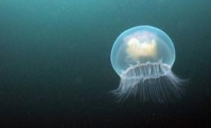 Jellyfish numbers in UK waters are on the up (Dan Kitwood/Getty Images)