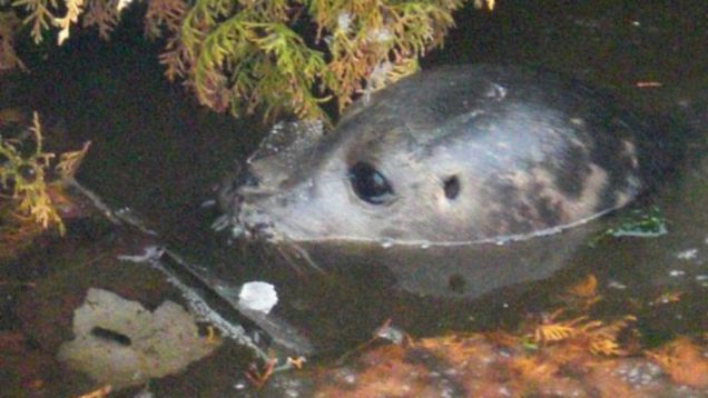 Rudolph Seal pup
