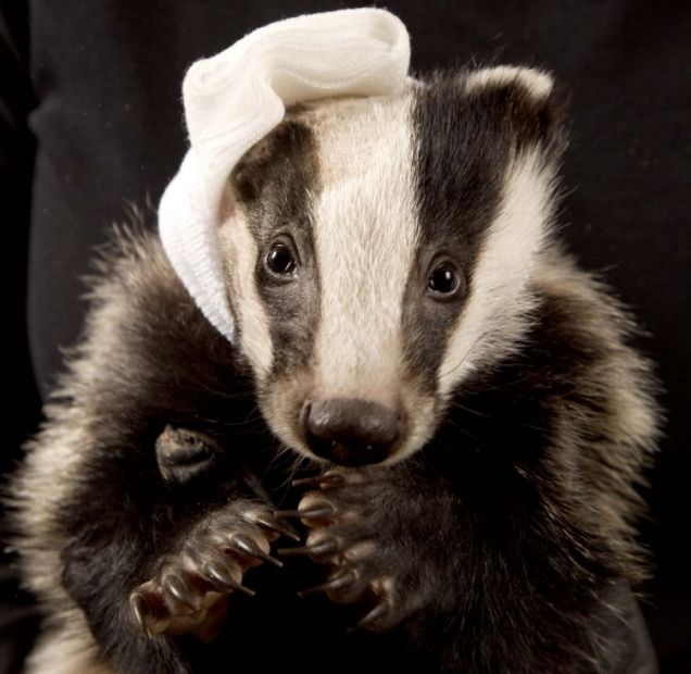 Black and white Van man: Vincent the one-eared badger