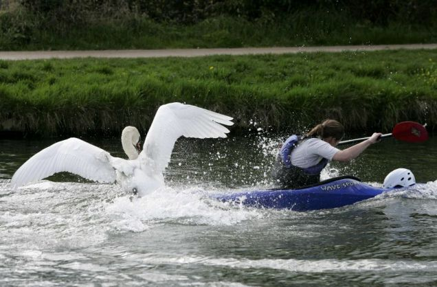Angry: The swan – known as Mr Asbo – is seen 'defending' his nest on the river Pictures: Geoff Robinson