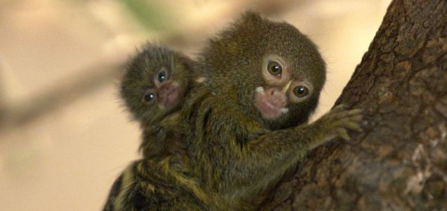 Pygmy marmosets like these were among the eight rare monkeys stolen from Symbio Wildlife Park