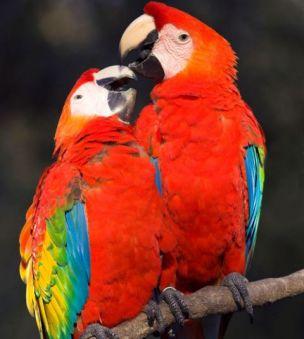drunken parrots, palmerston, australia