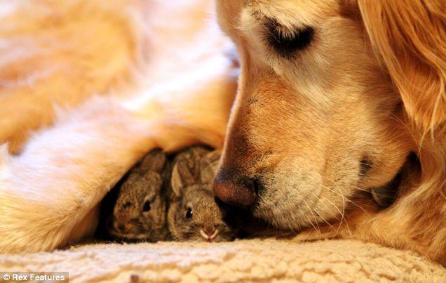 dog adopts baby rabbits