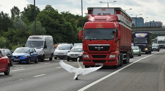 Swan flags down lorry on M4 with wings