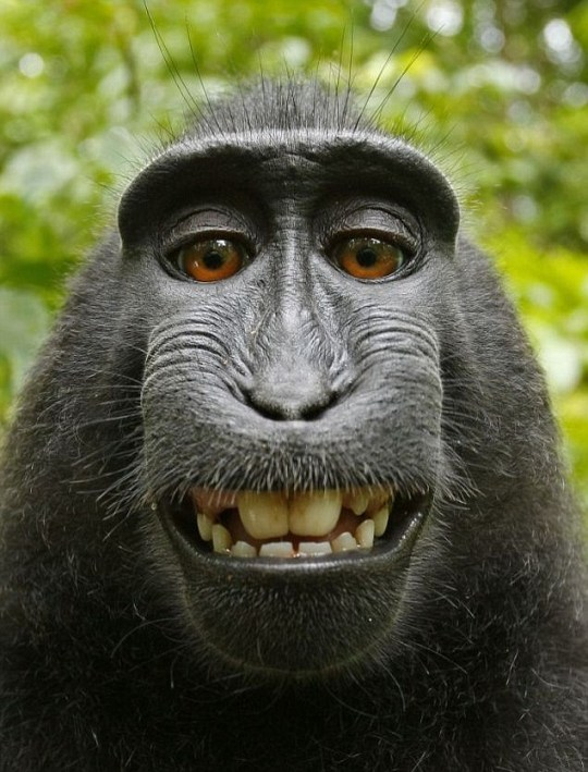A crested black macaque smiles