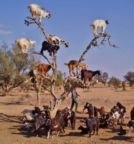 This tree visibly strained under the weight of nine goats (Picture: Gavin Oliver/Solent)