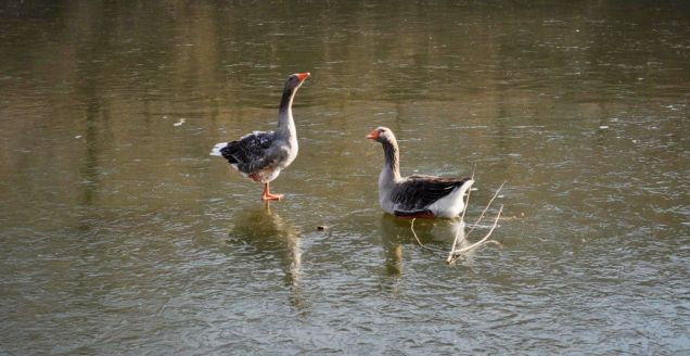Two ducks frozen to lake in China Quirky China News