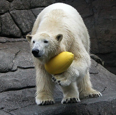The animal runs holding the ball like a rugby player