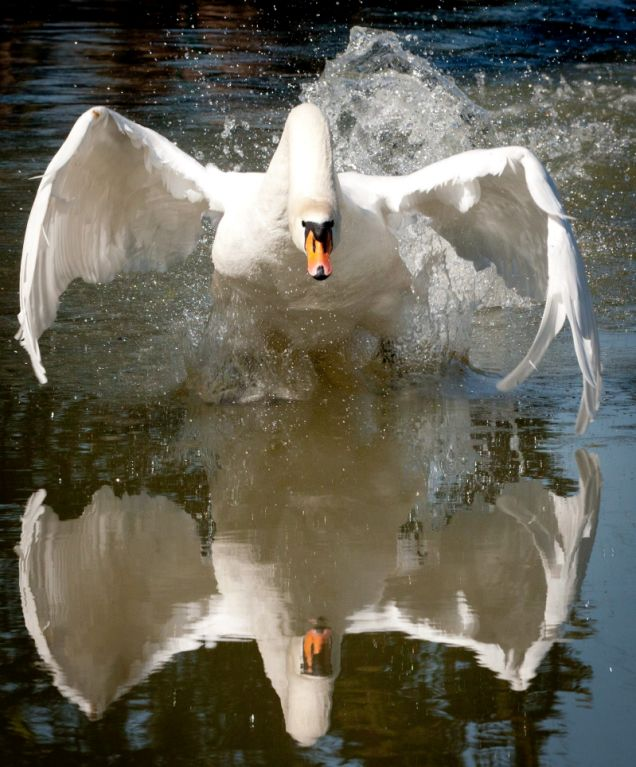Tyson, swan, Grand Union Canal