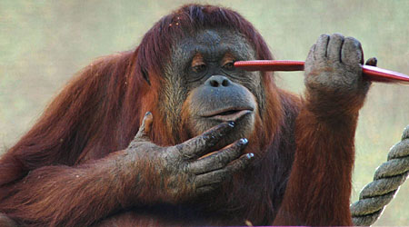 The orangutan is described as 'highly intelligent'