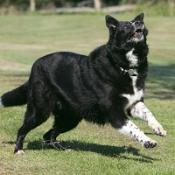 Five-year-old border collie Taz, who has already lost nearly 30lbs since being moved to council kennels