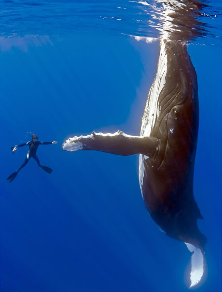 Give me five! The whale dwarfs the diver
