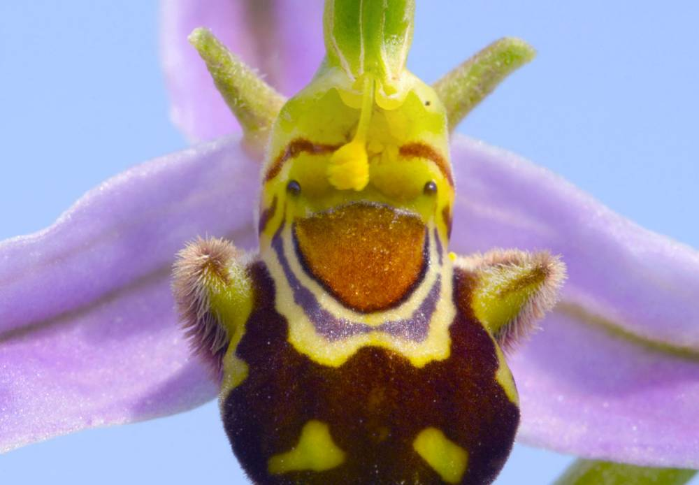 Rare orchid looks just like Shrek and even has trademark brown waistcoat