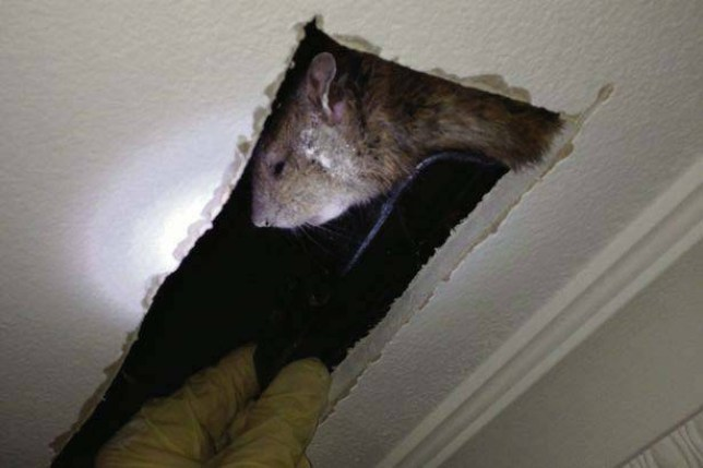 ONLINE FEE  75 and hardcopy fee  150 per image  Huge rodent measuring 24 inches from nose to tail was trapped by pest control workers last week in Dublin.  Huge rodent measuring 24 inches from nose to tail was trapped by pest control workers last week in Dublin