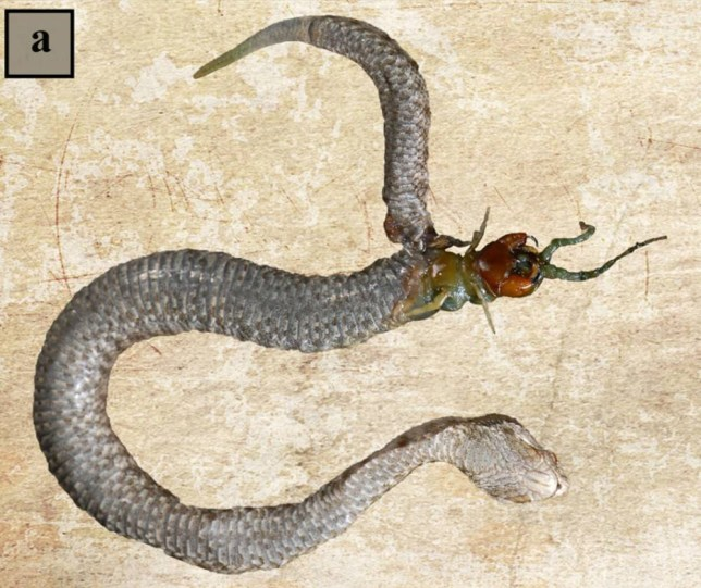 Centipede tears through viper's stomach after being swallowed alive