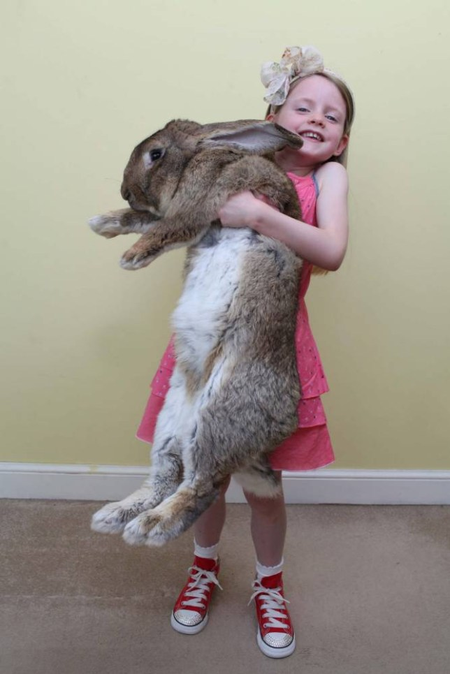 ***ONLINE EMBARGO UNTIL 00.01HRS 21/4/14*** PIC BY MIKE JONES / CATERS NEWS - (PICTURED: Darius the rabbit with Mia, aged 6) - The worlds biggest rabbit munches his way through a staggering 4,000 carrots a year costing his owner a mammoth 2,500 a year in food. Real life Easter bunny Daruis - who weighs three-and-a-half stone, has a huge appetite and can eat up to 12 carrots a day, as well as cabbage, apples and two large dog bowls full of rabbit mix. This all adds up for owner Annette Edwards, 62, from Worcester who has to fork out 2,500 a year just to feed her giant pet. Hungry Darius devours 4,000 carrots, 120 cabbages and 730 dog bowls full of rabbit mix over the year. But recently Annette has become hopping mad over her huge rabbits giant appetite and is considering putting Darius on a diet. SEE CATERS COPY.