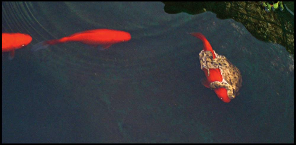 Just for the halibut: the lazy frog rides a fish across the pond (Picture: BNPS)