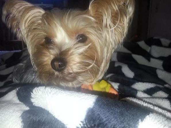 Violet the Yorkshire Terrier, stolen