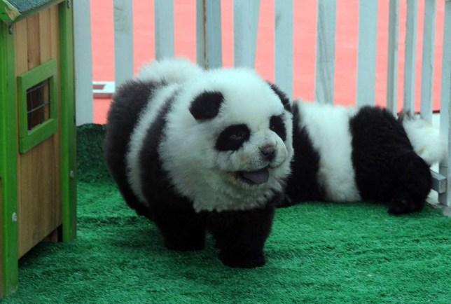Panda dogs, China