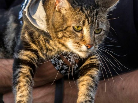 'Hero cat' Tara throws first pitch at a baseball game