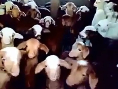World's first sheep choir could go all the way