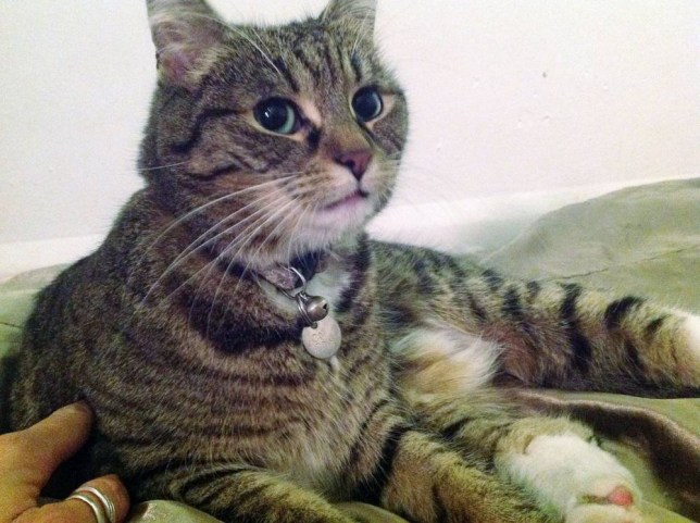 Handout photo issued by Thames Reach of Freya, Chancellor George Osborne's cat which has been returned to Downing Street after turning up frightened and lost in Vauxhall, after Homelessness outreach worker Kate Jones found Freya far from home and identified the wandering feline from a tag on her collar. PRESS ASSOCIATION Photo. Issue date: Tuesday May 27, 2014. See PA story POLITICS Freya. Photo credit should read: Thames Reach/PA Wire NOTE TO EDITORS: This handout photo may only be used in for editorial reporting purposes for the contemporaneous illustration of events, things or the people in the image or facts mentioned in the caption. Reuse of the picture may require further permission from the copyright holder.