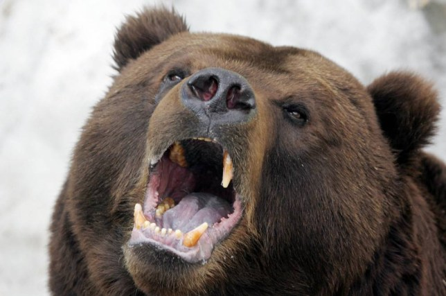 Moscow, RUSSIAN FEDERATION:  The Kamchatka brown bear named Mikhailo Potapovich yawns in his cage after awakening from the winter hibernation at the Moscow Zoo, 04 April 2006. The brown Kamchatka bear woke from his hibernation, the Gazeta daily reported, and that means without fail that the especially harsh Russian winter of 2005-06 can be declared over.  AFP PHOTO / ALEXANDER NEMENOV  (Photo credit should read ALEXANDER NEMENOV/AFP/Getty Images)