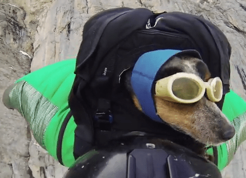 Cool or cruel? Wingsuit dog video divides opinion