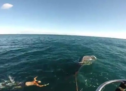 Fisherman saves baby humpback tangled in cray pot lines