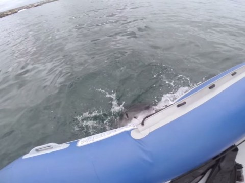 Great white shark swims up to boat and starts EATING it