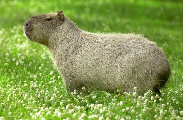 Bogey: An Argentinian capybara, which is the world's largest rodent (Picture: Caters)