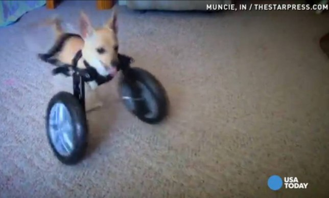 http://www.usatoday.com/story/news/nation-now/2014/06/02/two-legged-chihuahua-gets-wheelchair/9877903/ chihuahua on wheels