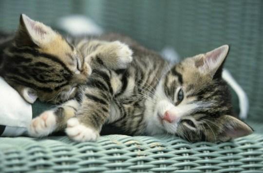 Mandatory Credit: Photo by Image Broker/REX (1845630a)  Cat, domestic cat (Felis silvestris catus)  VARIOUS