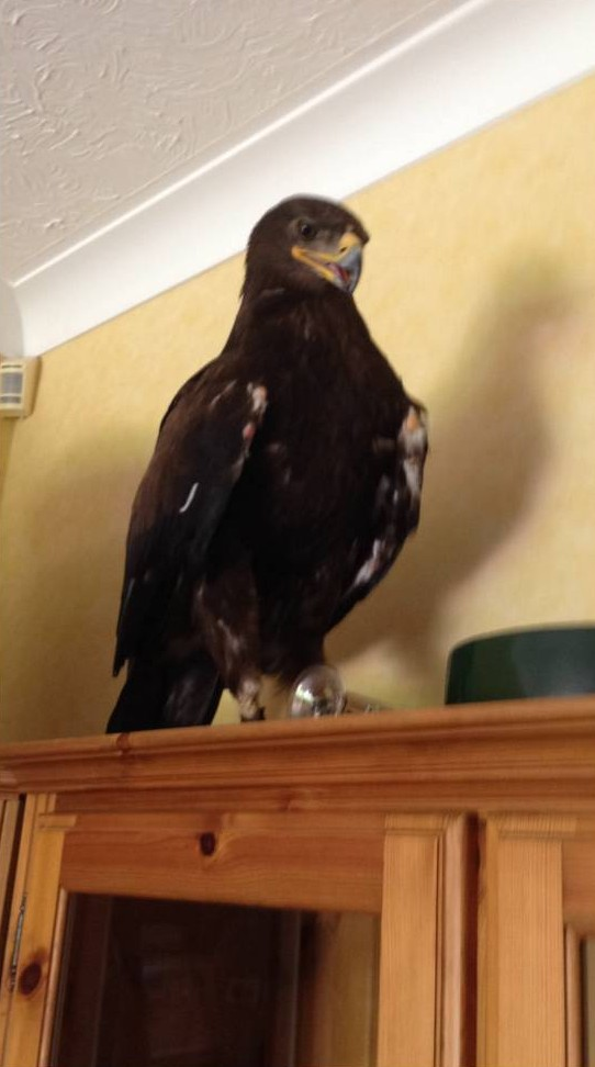 Eagle with four-foot wingspan flies into woman's living room