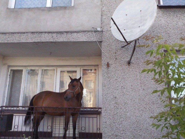 "A Polish man wasn't bothered when he found that the mower had broken down ñ he simply bowed his friend's horse and use that to cut the grass down to size ñ and when he had finished he stored the horse on the balcony. Borys Kozlowski, from Grajewo, in northeast Poland, said: ""I didn't want anybody to steal it. It did a great job on the lawn, and I wouldn't leave the lawnmower lying around either."" Borys, 48, admits he had left it until the last minute before finally getting round to cutting overgrown grass ñ only to discover that the lawnmower had given up the ghost. He said: ""I saw a pal of mine while I was trying to fix it, and he told me I should forget the lawnmower and power of his horse, Dolina. ""I thought it seemed like a good idea, and as the horse was only a short way away anyway we went and fetched it and then he left me with the horse tethered in the garden. Another legal short grass, I got some fertiliser as well. ""Afterwards he hadn't come back and didn't want anyone to pinch the animal, so took it up stairs and through my flat and left on the balcony."" Passerby Jacek Cimoch said: ""I was walking down the street when I noticed a horse standing on the balcony of a family house. ""I took out my phone and took a photo and put it on Facebook."" The horse owner  Jakob Pancesky collection in the short while later said: ""He is a bit of a character.  He has never been frightened of anything in his life - you can fire a starting pistol next to him and he would only turn and look at you. I guess a flight of steps was no big deal to him."""