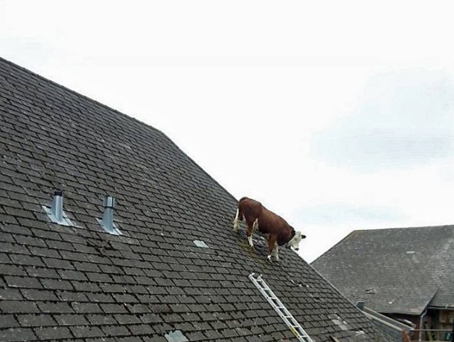 Rolf Steiner: Cow gets stuck on roof near Swiss Alps