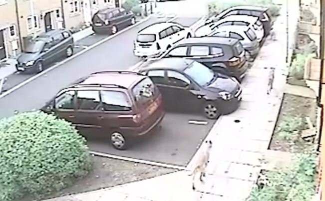 Dogs seen running along the street before targeting their prey (Picture: YouTube)