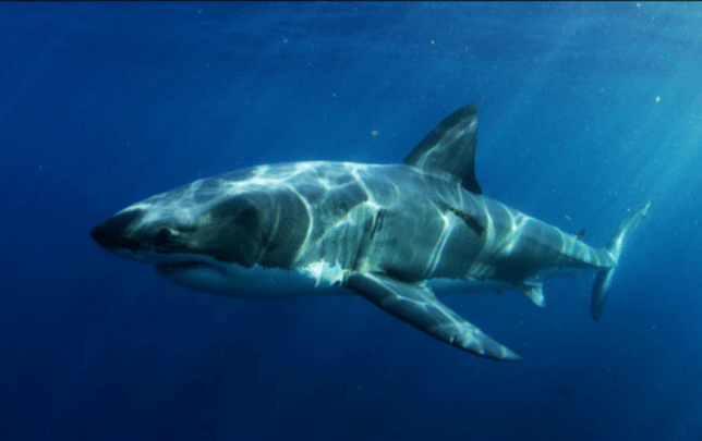 The deep sea giant shark managed to devour the 9ft long female (Picture: Smithsonian Channel)