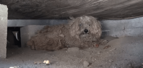 Adorable dog lives under a shed for a year after owner dies