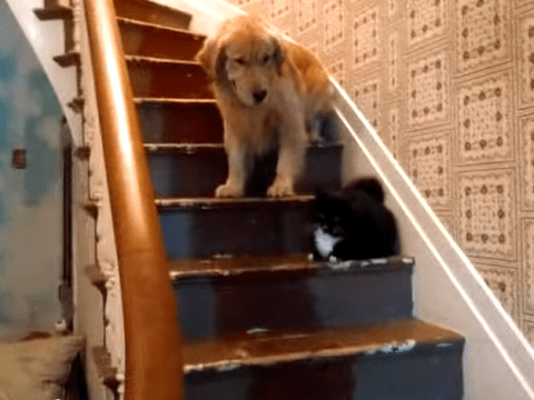 Dog tries to come downstairs, cat says no